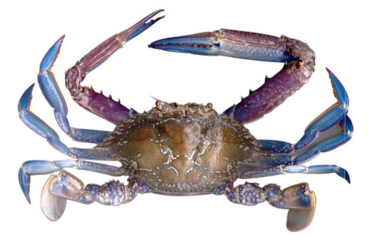 Blue swimming crab Image